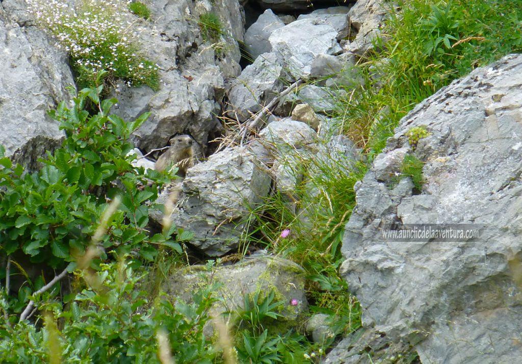 Marmota (Marmota marmota) en la ruta al Forau d´Aigualluts