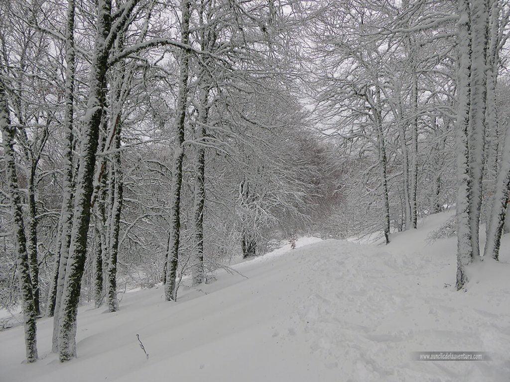 En el interior del hayedo con nieve en Pineda de la Sierra