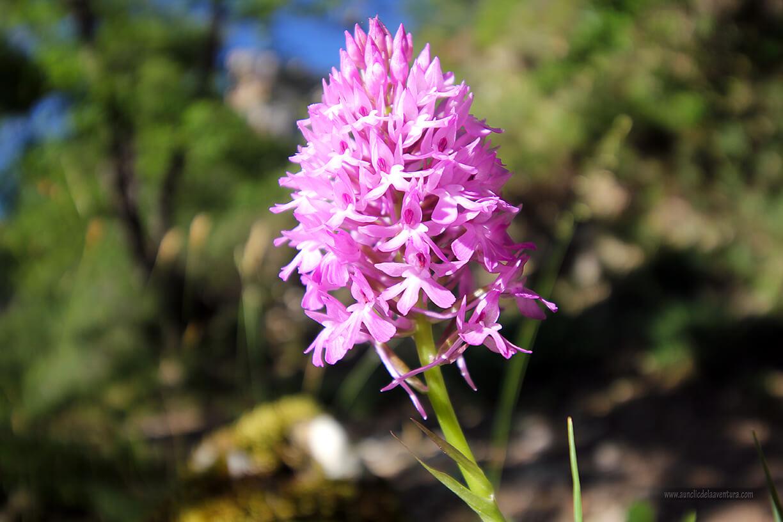 Orquídea en el camino a Siero - ruta desde Valdelateja hasta la ermita de Castrosiero