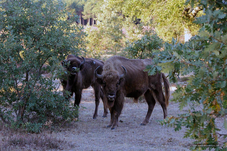 Bisontes en alerta