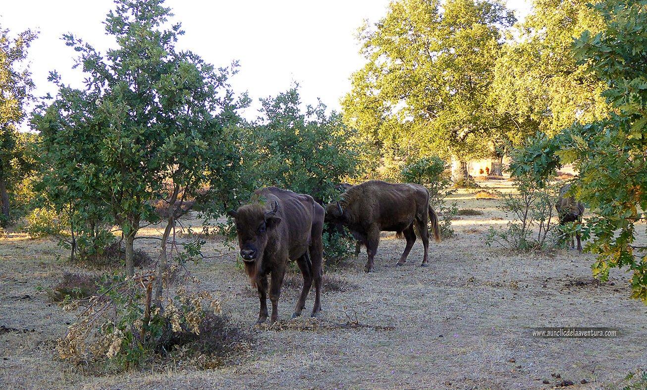 Este bisonte se percató de nuestra llegada
