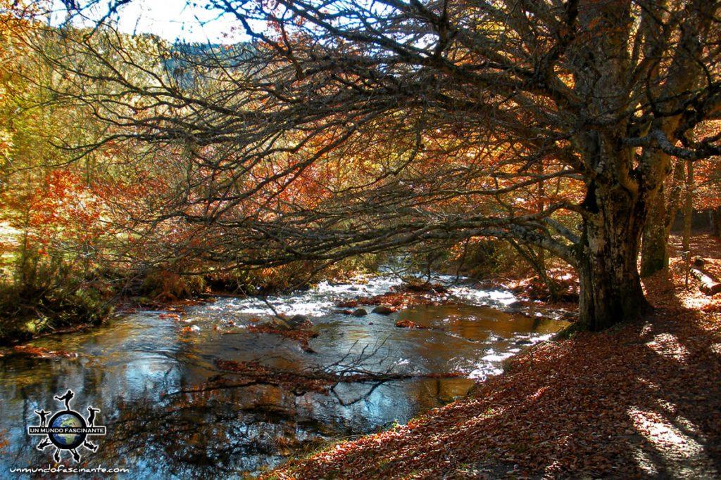 Ejemplar de haya en otoño en el Hayedo de Montejo -escapadas de otoño en España