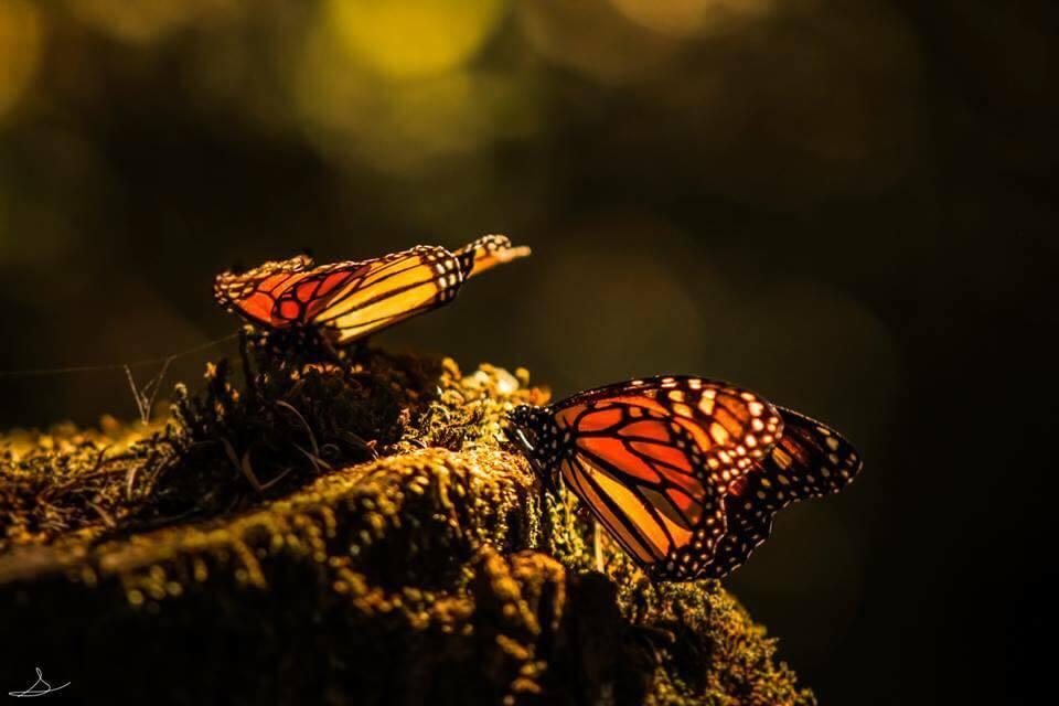 Mariposas monarca - fotografía de Sergio Müller