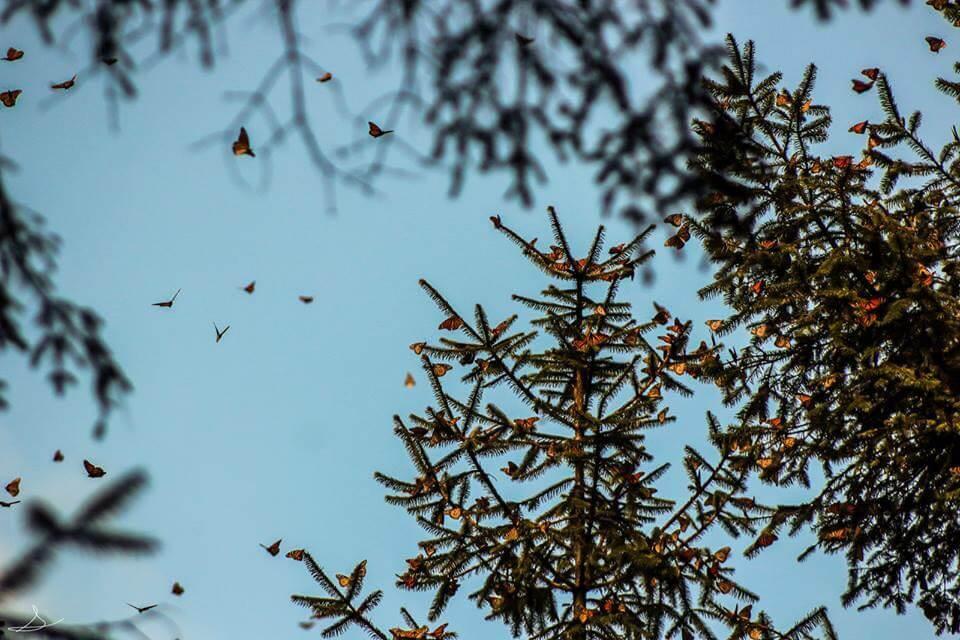 Santuario de Mariposas monarca - fotografía de Sergio Müller