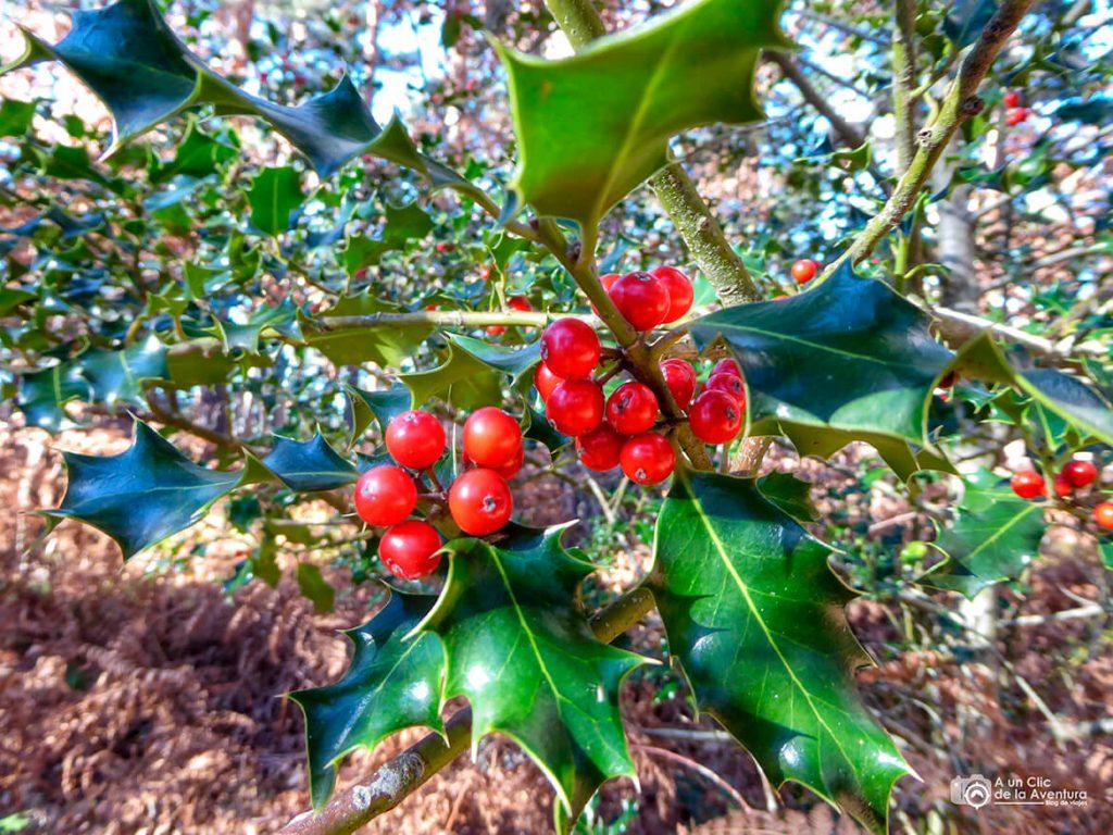 Frutos del acebo - Dehesa de Huerta de Arriba