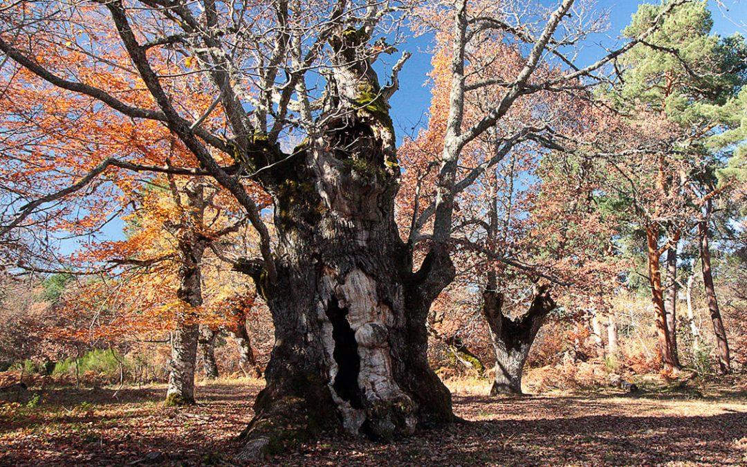 El bosque de los robles centenarios de Huerta de Arriba