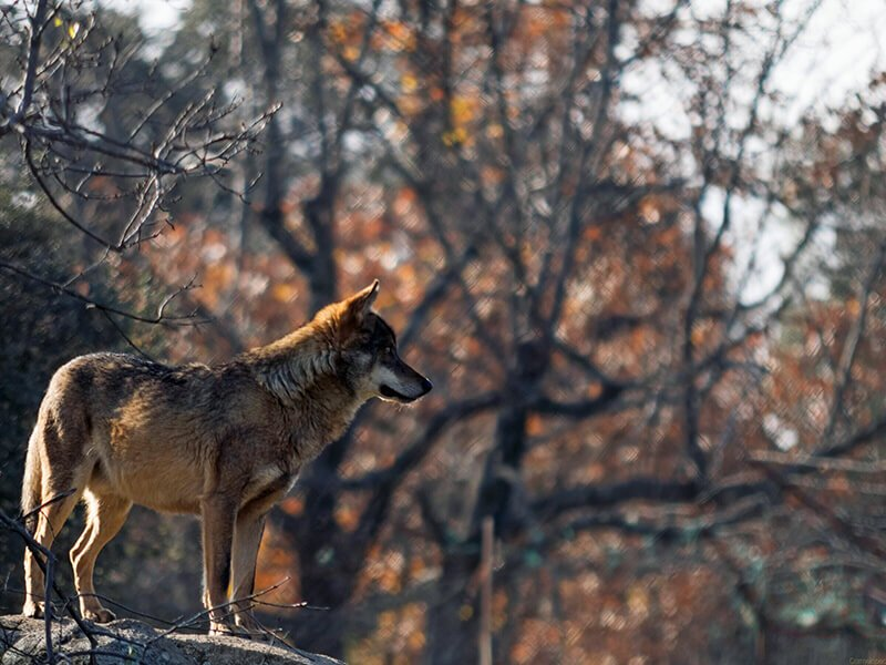 Lobo - que hacer en Las Loras