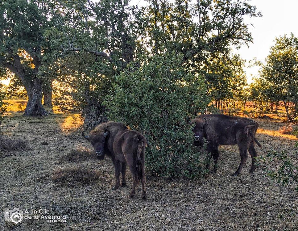 Bisontes Europeos en Paleolítico Vivo - alrededores de Burgos