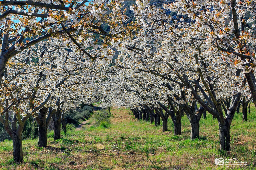 Campo de cerezos en flor cerca de Huéspeda