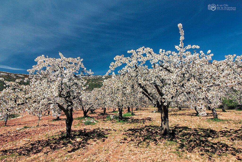 Campo de cerezos cerca de Herrera de Valdivielso