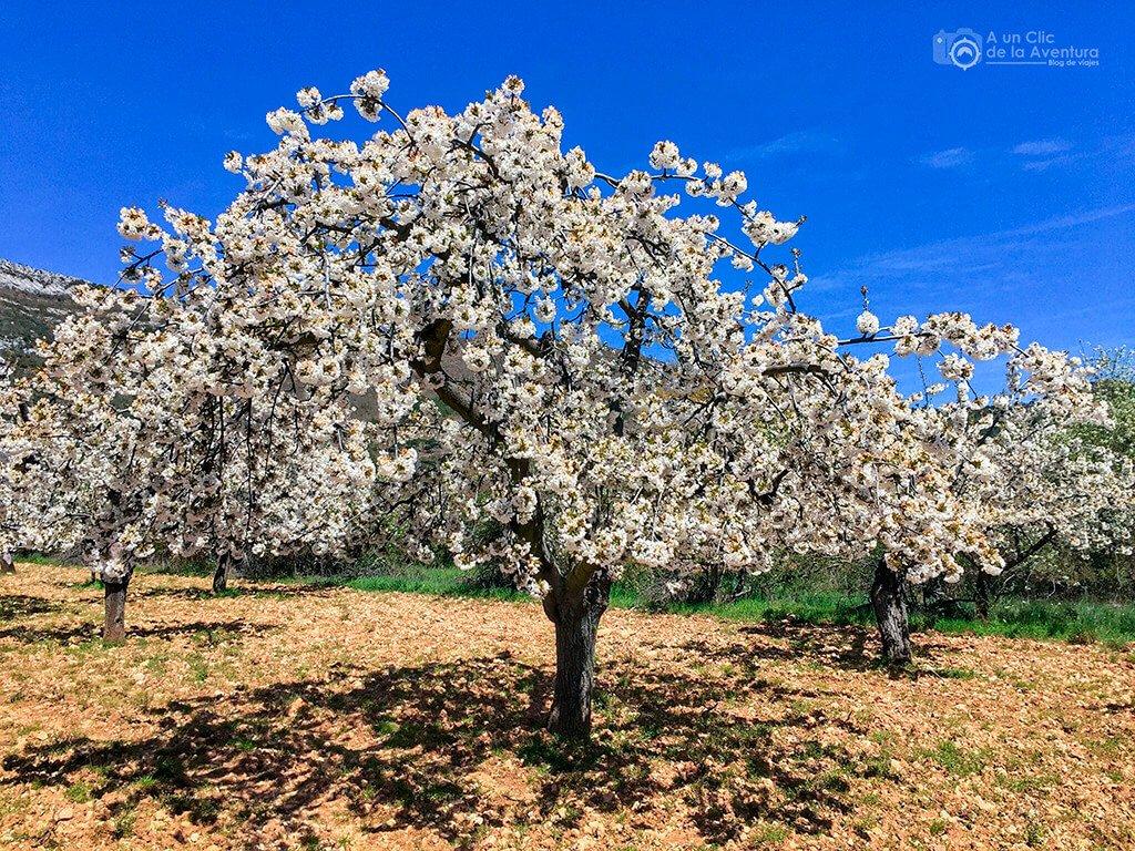 Cerezos en flor cerca de Herrera de Valdivielso