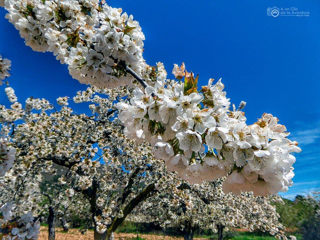 Cerezos en flor del Valle de Caderechas