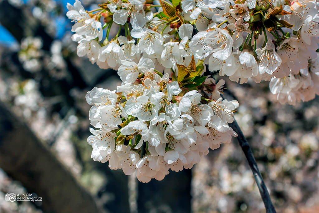 Futura cosecha de cerezas de las Caderechas