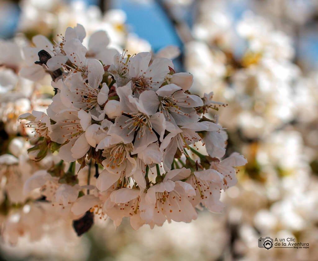 Flores de los cerezos del Valle de Caderechas