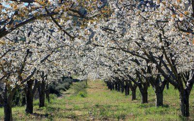 Dónde y cuándo ver los cerezos en flor del Valle de Caderechas