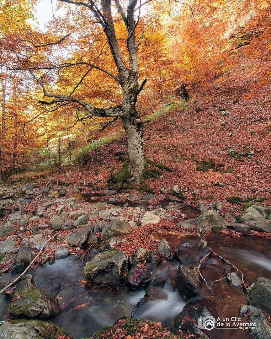 El haya más famosa de Burgos - hayedo del río Urbión