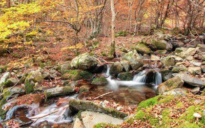 El hayedo del río Urbión, en busca del haya más famosa de Burgos