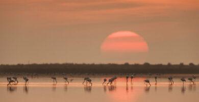Flamencos en el Delta del Ebro - humedales de España