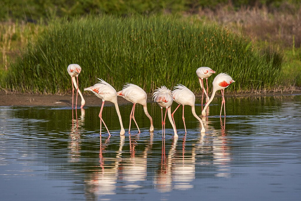 Flamencos en la Laguna de Fuente de Piedra - humedales de España