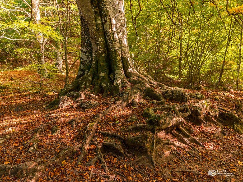 Haya de la Sierra de Urbasa - ruta al nacedero del Urederra
