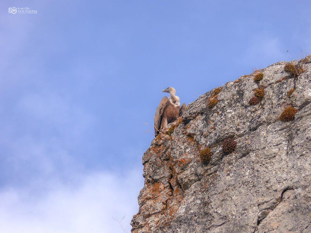 Buitre Leonado en la ruta por el Cañón del Río Lobos