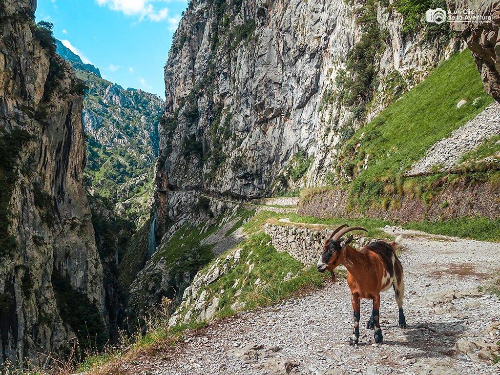 Cabra en la ruta del Cares