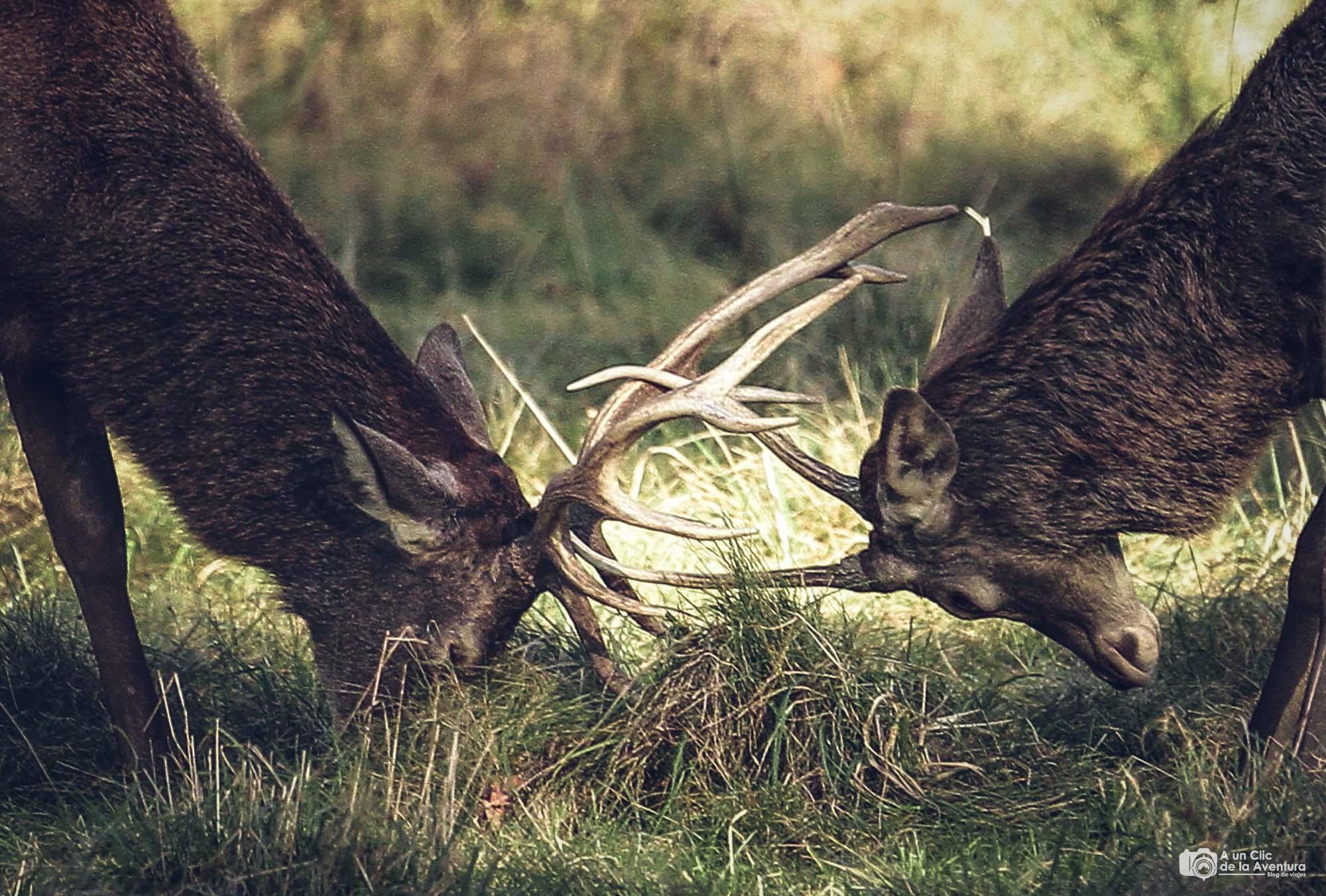Enfrentamiento de ciervos durante la berrea
