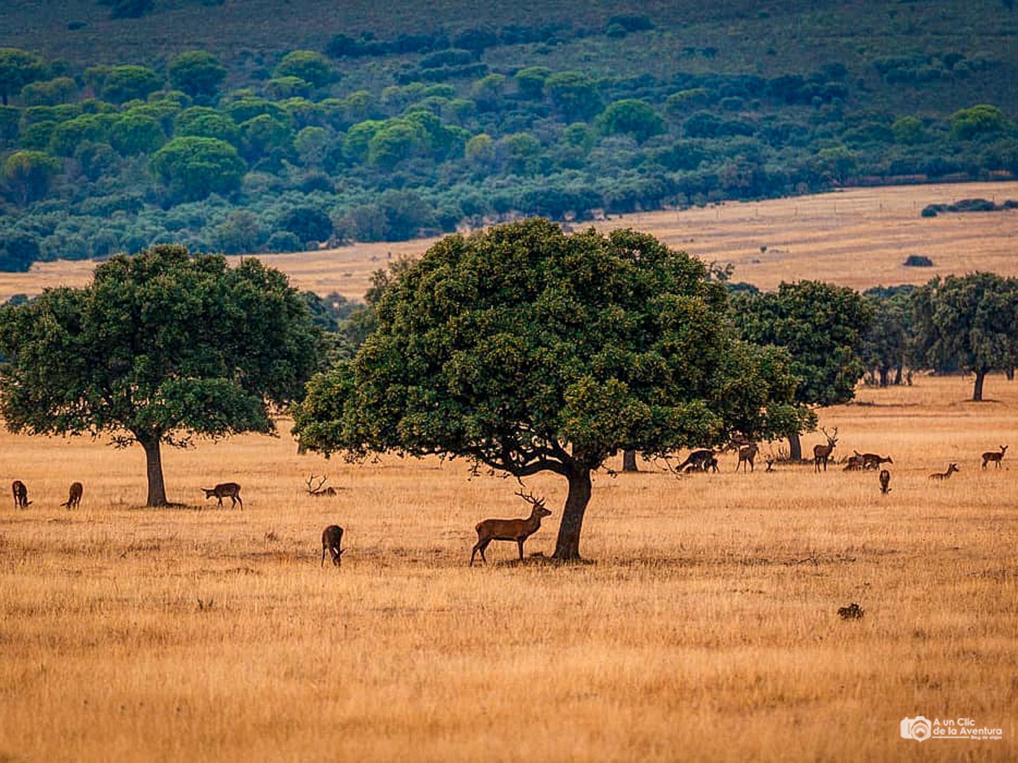 La berrea del ciervo en Cabañeros