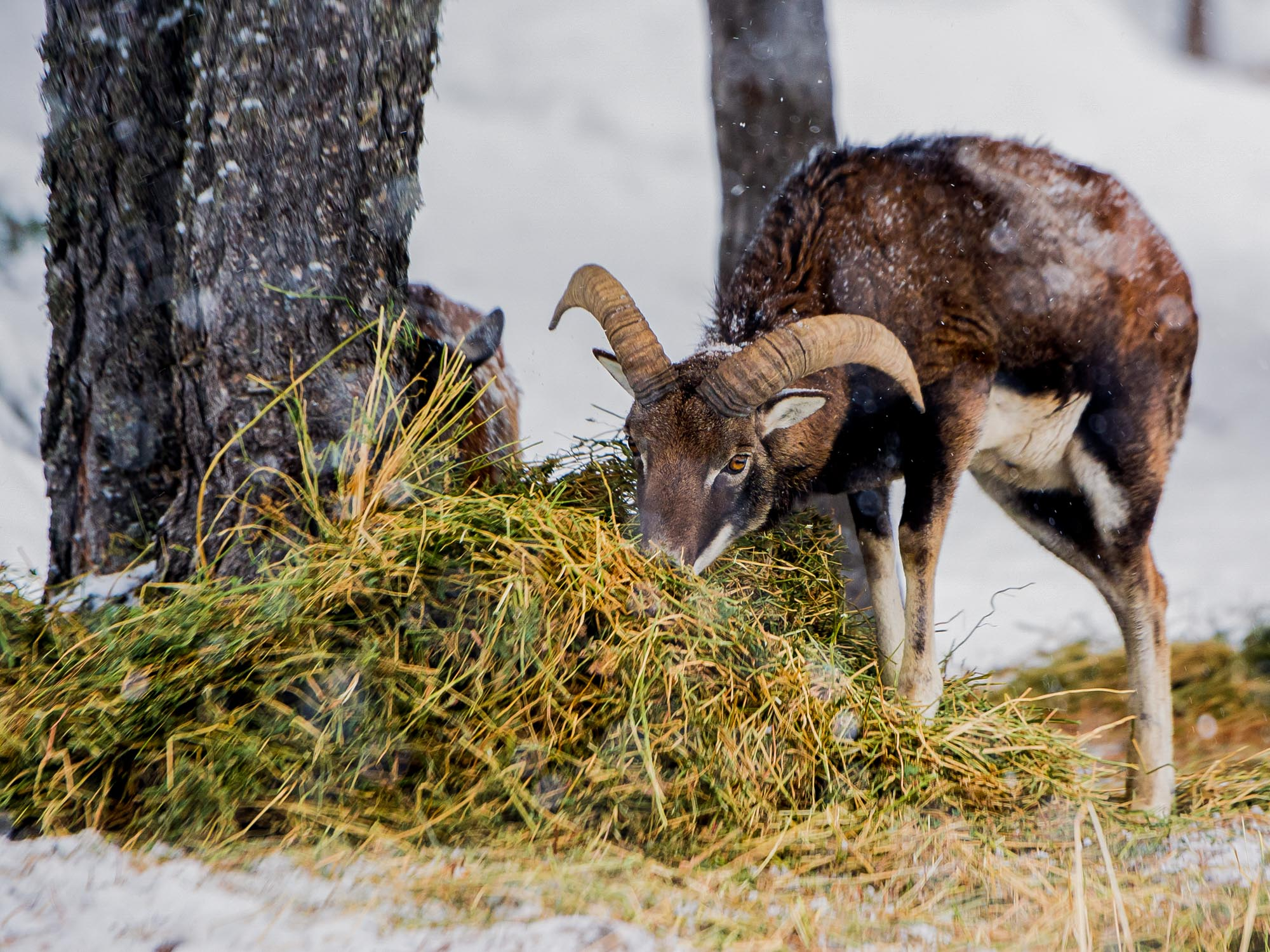 Muflón en Naturlandia, Andorra