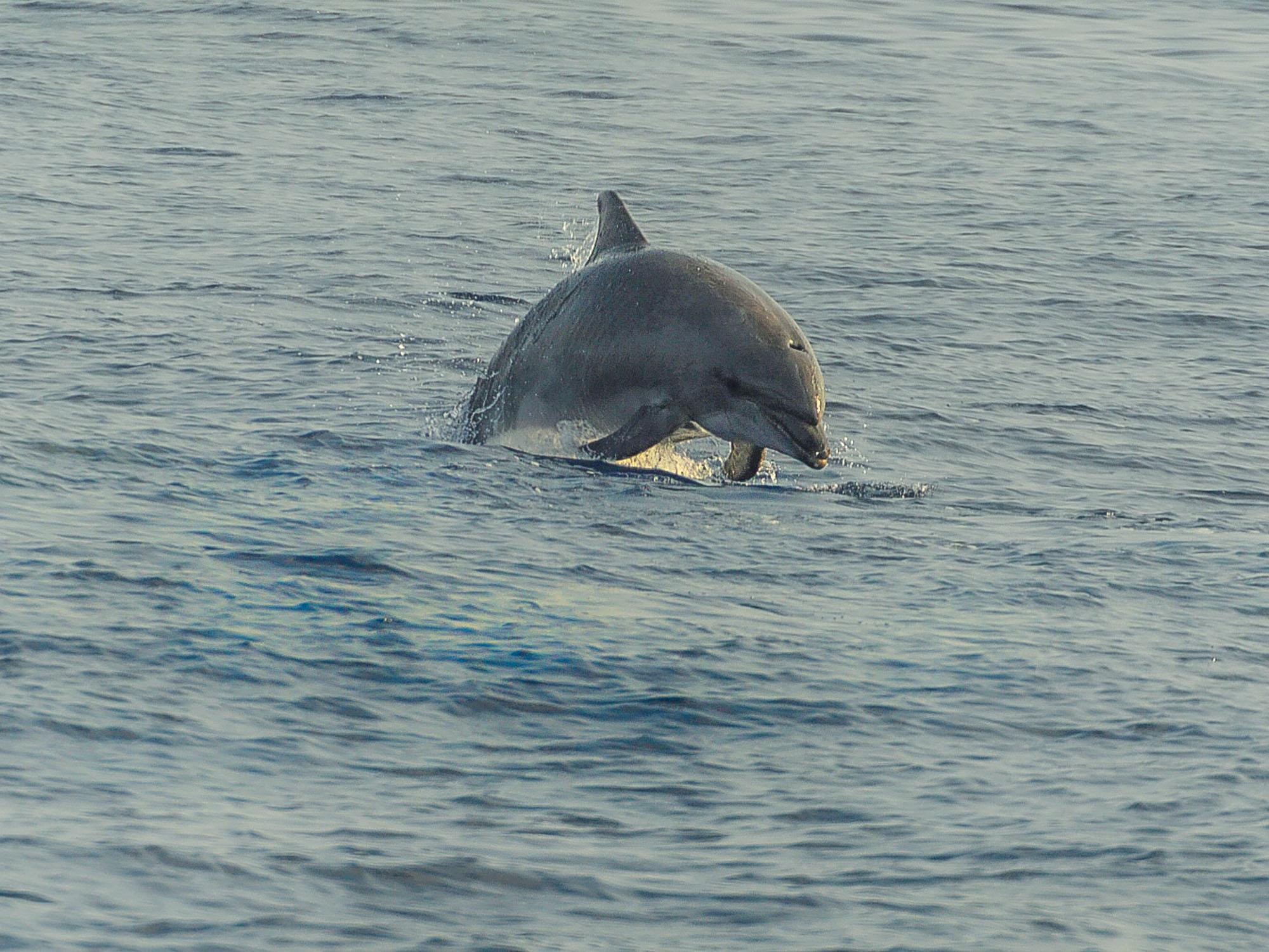 Avistamiento de delfines en el Cantábrico